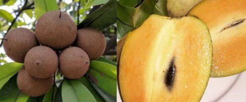 sapodilla chico fruit chikoo exotic fruits