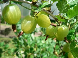 amla gooseberry superfood