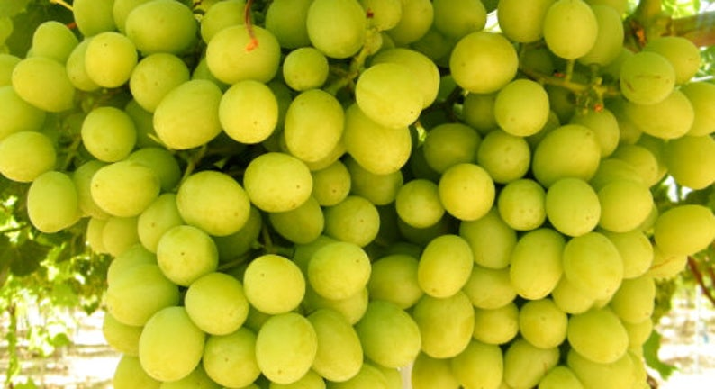 buy cotton candy grapes