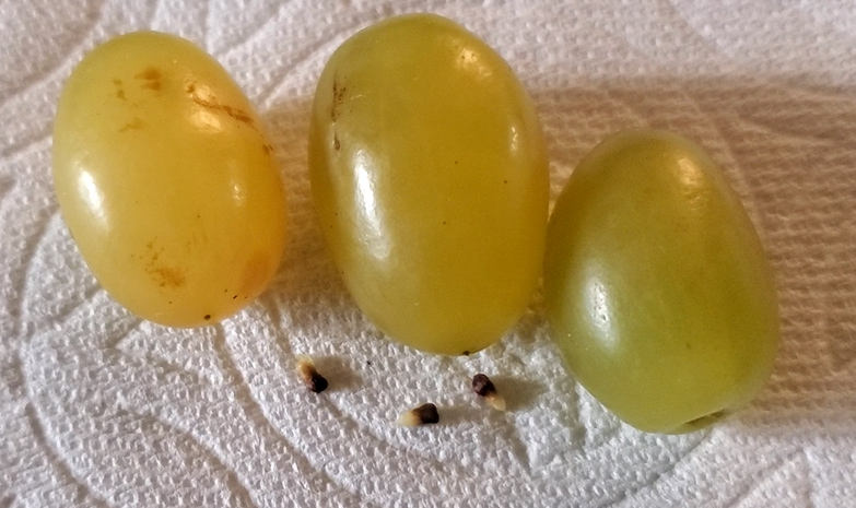 cotton candy grapes seeds